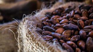 Graines de cacao.