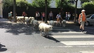 Sheep take pedestrian crossings in their stride.