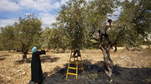 Récolte d'olive en territoires palestiniens.