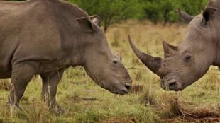 O rinoceronte é uma espécie ameaçada na África do Sul