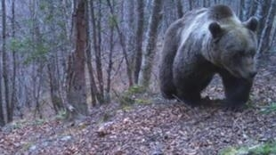 Automatic cameras operated by France's national office for hunting and wildlife captured this image of brown bear near the Pyrenees mountain community of Bordes-Uchentein in the French department of Ariege, 28 March 2019.