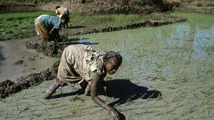 Rizière à Madagascar (Photo d'illustration).