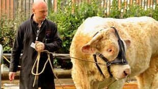 A farmer with his Charolais bull before the opening of the Paris agrishow, 21 February 2020