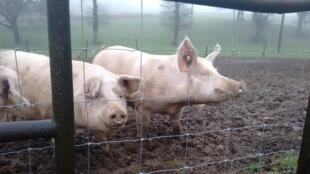 Des porcs de l'élevage de Julien Bahuon, 36 ans, qui s'est installé à son compte début 2016 à La Hellaye dans le Morbihan.