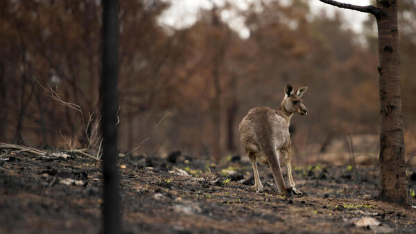 Un canguro herido corre entre las brasas en Cobargo. Australia, 9 de enero de 2020.