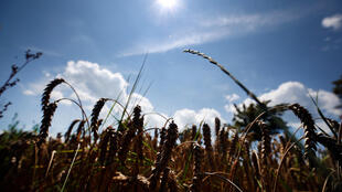 Một cánh đồng lúa mì bị khô hạn gần Munich, Đức. Ảnh chụp ngày 30/07/2018