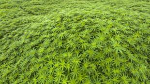 Des économistes conseillant Matignon appellent à légaliser le cannabis.