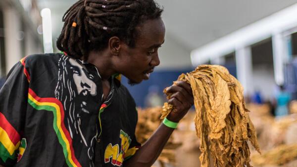 Un agriculteur inspecte sa feuille de tabac pour en vérifier la qualité et l'arôme lors de l'ouverture officielle de la saison de vente de tabac au Boka Tobacco Auction Floor à Harare, le 15 mars 2017.