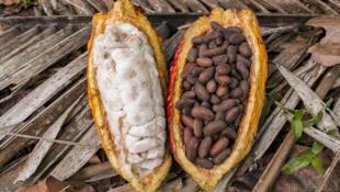 Le Ghana et la Côte d'Ivoire ont imposé un prix plancher de 2600 dollars la tonne pour la future récolte de cacao, celle d'octobre 2020.