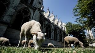 "Свое путешествие по ""Большому Парижу"" 27 овец начали от базилики Сен-Дени"