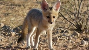 """The sighting of the Cape Fox as far north as Zimbabwe is """"thrilling"""", but it could be due to increasing aridification in Southern Africa."""