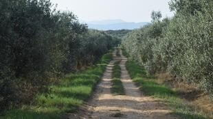 Olive trees make up a big part of Tunisia's landscape