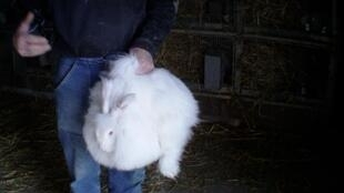 This handout picture released by animal rights association One Voice shows a person holding an angora rabbit at an unknown location.