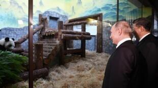 Nguyên thủ Nga Vladimir Putin (T) và Trung Quốc Tập Cận Bình tại lễ đón nhận cặp gấu trúc Ru Yi và Ding Ding, tại sở thú Matxcơva, 05/06/2019.