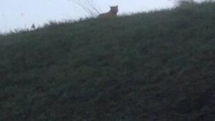 Animal à solta dos arredores de Paris é um felino, mas não é um tigre.