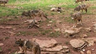 Lobos na região do Lot, no centro da França.