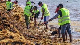 Les ouvriers municipaux ramassent les algues sargasses à Puerto Morelos, au Mexique, le 8 août 2018.