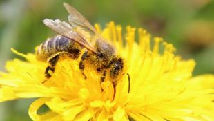 Une abeille butinant une fleur de pissenlit.