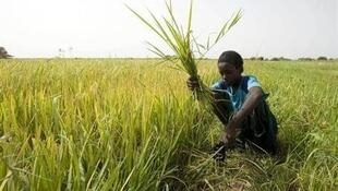 A boy uses a sickle to cut weeds in a rice field on the outskirts of Richard Toll town in Senegal