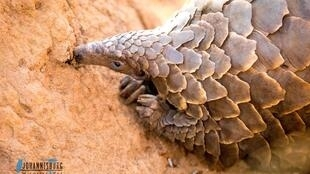"""Lunch time: """"Fortunate"""" the pangolin sniffs out ants and termites."""
