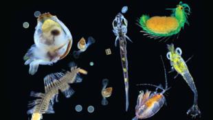 Plancton capturado en el Pacífico. En la foto una mezcla de organismos multicelulares — zooplancton, larvas y organismos protistas (diatomeas, dinoflagelado, radiolarias).