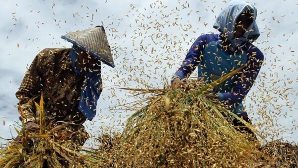 Na Ásia, metade dos trabalhadores do setor agrícola é de mulheres.