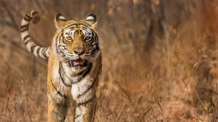 A tiger in the wild