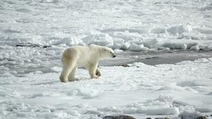 The population of polar bears is around 27,000 spread across in the Arctic region.
