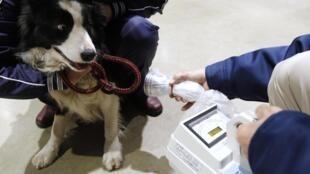 Autoridades japonesas testam o nível de radiação em um cachorro na região de Fukushima.
