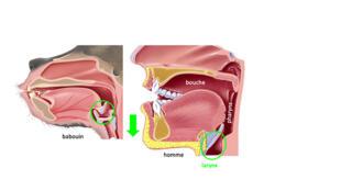 Anatomie comparée du conduit vocal du babouin (à gauche) et de l'homme moderne (à droite).