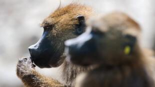 Des babouins de Guinée sont photographiés au zoo de Besançon, le 11 juillet 2013 (photo d'illustration).