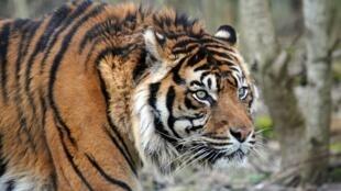 En 1900, la planète comptait plus de 100 000 tigres sauvages, selon les estimations. On comptait moins de 4000 félins au niveau mondial en 2010.