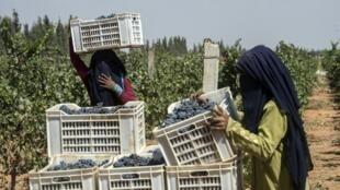 l'Egypte a beaucoup de succès avec son raisin : il se vend en Russie, dans les pays arabes, mais aussi au Royaume-Uni et depuis l'an dernier en Chine.