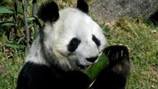 Shuan Shuan, un panda gigante hembra (Ailuropoda melanoleuca) nacida en cautiverio en México, come bambú en el zoológico de Chapultepec en la Ciudad de México, el 12 de febrero de 2020.