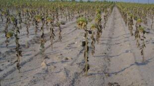 La canícula no solo destruye las siembras, también afecta la calidad de los productos.