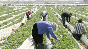 Des ouvriers agricoles travaillent dans un champ de fraises, dans la bande de Gaza.