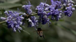 75 % de la production mondiale agricole dépendrait directement des abeilles domestiques et sauvages assurant naturellement la reproduction des plantes à fleurs.