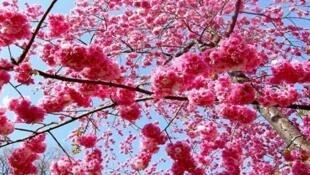 日本春季櫻花艷照