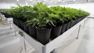Le marché du cannabis médical à usage thérapeutique est en pleine croissance. La Colombie pourrait devenir le premier producteur mondial dans les années à venir.