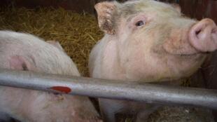 2 pigs  豬