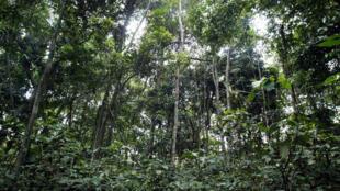 La forêt de la réserve de Lesio Louna, au Congo, à 140 kilomètres de Brazzaville.