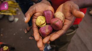 Les noix de kola ont un rôle culturel et social en Afrique de l'Ouest.