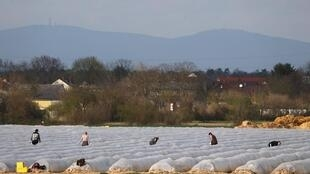 Récolte des asperges à Weiterstadt, près de Francfort, en plein épidémie de Covid-19, le 18 mars 2020.