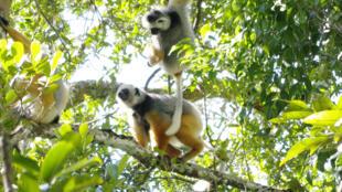 Lemurs in Andasibe Mantadia national park in eastern Madagascar