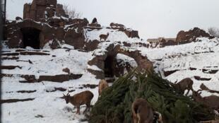 Les bouquetins du Tibet mangent des sapins au zoo de Moscou.