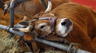A cow is pictured at the International Agricultural Show in Paris