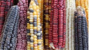 Des maïs de toutes les couleurs.