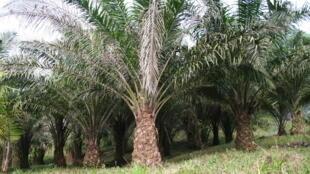 Plantation dédiée à l'huile de palme.