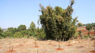 Dans le village de Zay Gone (Birmanie), des bosquets de bambous tombent dans les ruisseaux après la mousson à cause de l'érosion.