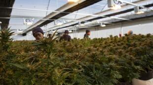 Des employées de l'entreprise Medigrow effeuillent les plants de cannabis, à Marakabeis, dans le centre du Lesotho, le 6 août 2019.